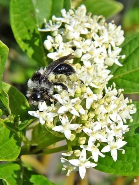 2020-05-26 LüchowSss Garten Gelbholz-Hartriegel (Cornus sericea 'Flaviramea') + Graue Sandbiene (Andrena cineraria) (6)