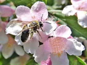 2020-05-26 LüchowSss Garten Perlmuttstrauch (Kolkwitzia amabilis) + Sandbiene (Andrena spec.)