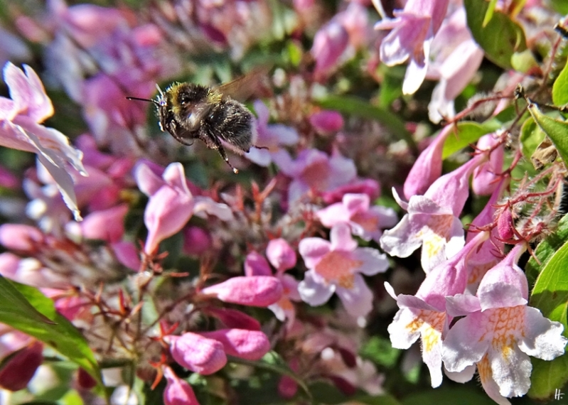2020-05-26 LüchowSss Garten Perlmuttstrauch (Kolkwitzia amabilis) + unbestimmte dunkle Hummel, vermut. Dunkle Erdhummel (Bombus terrestris)