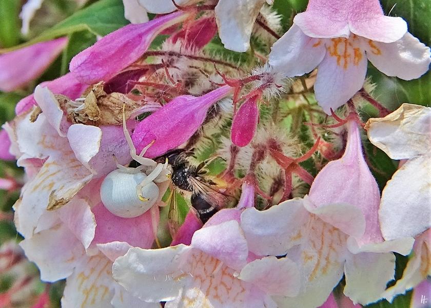 2020-05-26 LüchowSss Garten Perlmuttstrauch (Kolkwitzia amabilis) + Veränderliche Krabbenspinne (Misumena vatia) + Wildbiene