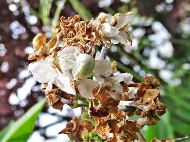 2020-05-27 LüchowSss Garten Veränderliche Krabbenspinne (Misumena vatia) am Garten-Flieder (Syringa vulgaris) (2)