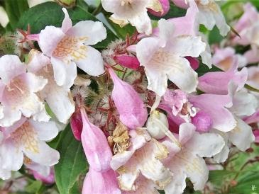 2020-05-27 LüchowSss Garten Veränderliche Krabbenspinne (Misumena vatia) im Perlmuttstrauch (Kolkwitzia amabilis) (3)