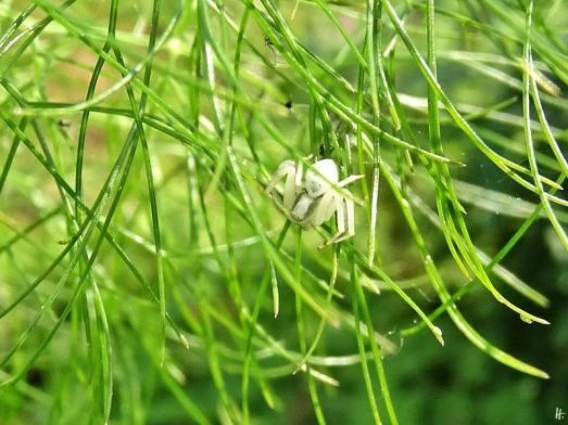 2020-05-27 LüchowSss Garten Veränderliche Krabbenspinne (Misumena vatia, m.) am Fenchel (Foeniculum vulgare)