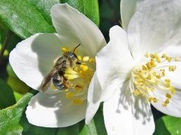 2020-05-28 LüchowSss Garten Bauernjasmin (Philadelphus coronarius) + Wildbiene