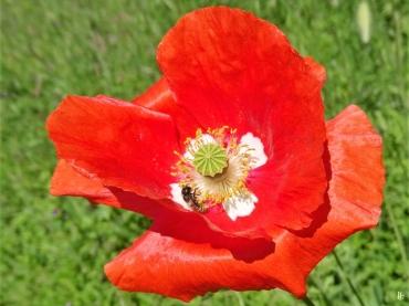 2020-05-28 LüchowSss Garten Klatschmohn (Papaver rhoeas) mit weisser Mitte - + Wildbiene (2)