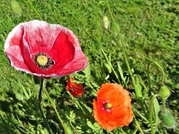 2020-05-29 LüchowSss Garten Klatschmohn (Papaver rhoeas) mit verwaschenem Rand + Saatmohn (Papaver dubium) (1)