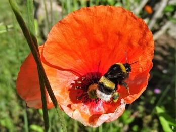 2020-05-29 LüchowSss Garten Saatmohn (Papaver dubium) + Dunkle Erdhummel (Bombus terrestris) (3)