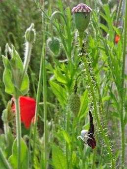2020-05-30 LüchowSss Garten Klatschmohn (Papaver rhoeas) + Veränderliche Krabbenspinne (Misumena vatia) (1)