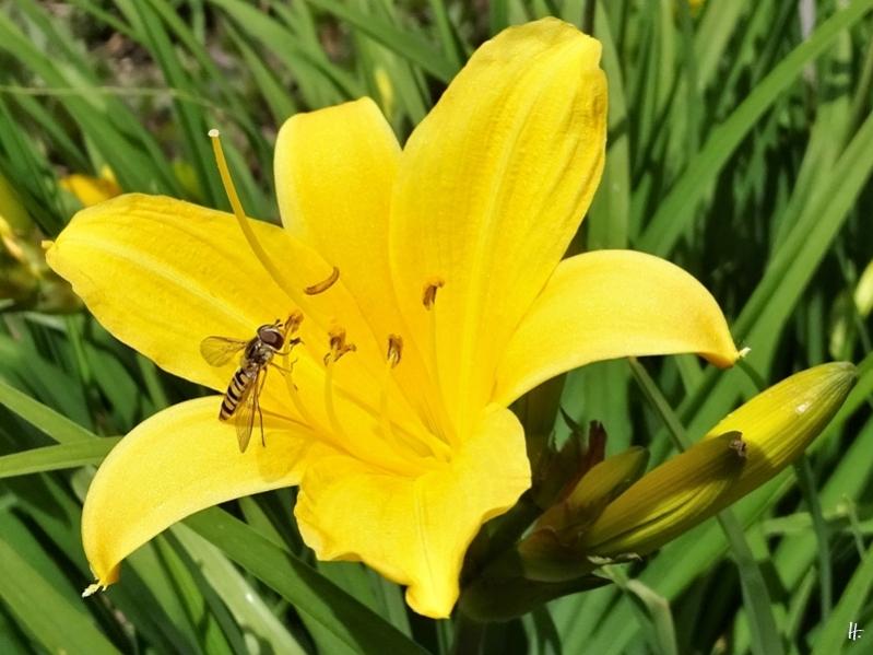 2020-05-31 LüchowSss Garten Gelbe Taglilie u. Hainschwebfliege (1)