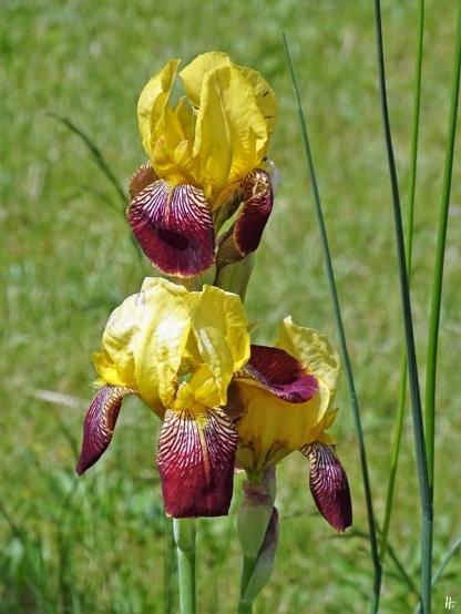 2020-05-31 LüchowSss Garten Gelbrote Bauerngarten-Bartiris 'Heidruns' oder eher eine Hybride mit d. Deutschen Schwertlilie (Iris x conglomerata)