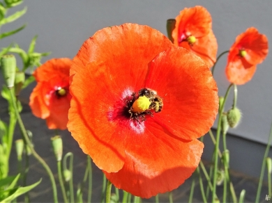2020-05-31 LüchowSss Garten Saatmohn (Papaver dubium) + Mauerbiene (Osmia spec.) (1)