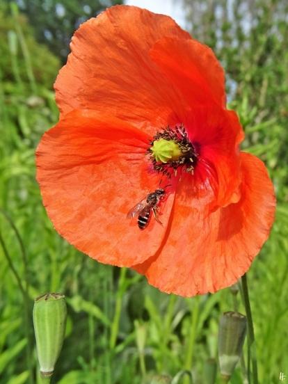2020-05-31 LüchowSss Garten Saatmohn (Papaver dubium) + Wildbiene