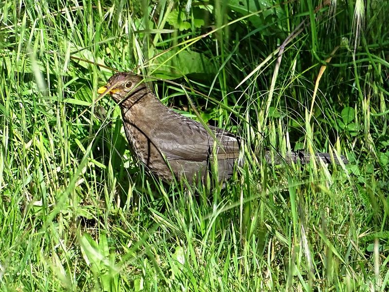 2020-06-01 LüchowSss Garten Amsel-Weibchen (Turdus merula)
