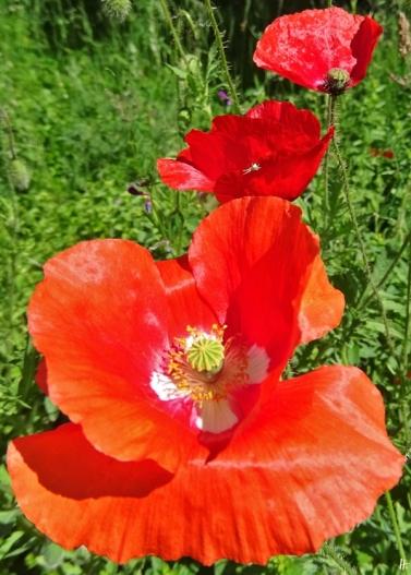 2020-06-01 LüchowSss Garten Klatschmohnblüten + kl. Veränderliche Krabbenspinne (Misumena vatia) (1)