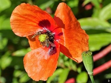 2020-06-01 LüchowSss Garten Saatmohn (Papaver dubium) + Hain-Schwebfliege (Episyrphus balteatus) + Mondfleck-Feldschwebfliege (Eupeodes luniger) (2)