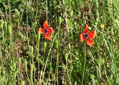 2020-06-01 LüchowSss Garten Sandmohn (Papaver argemone) auf südl. Wieseninsel