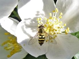 2020-06-02 LüchowSss Garten Bauernjasmin (Philadelphus coronariuis) + Grosse Schwebfliege (Syrphus ribesii)