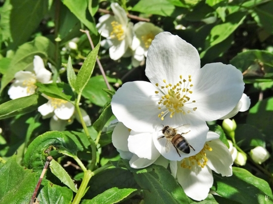 2020-06-02 LüchowSss Garten Bauernjasmin + Europäische bzw. Westliche Honigbiene (Apis mellifera)