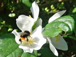 2020-06-02 LüchowSss Garten Bauernjasmin (Philadelphus coronarius) + Steinhummel (Bombus lapidarius)