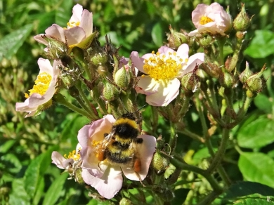 2020-06-02 LüchowSss Garten Büschelrose (Rosa multiflora) + Gartenhummel (Bombus hortorum)