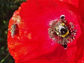 2020-06-02 LüchowSss Garten Klatschmohn (Papaver rhoeas) mit Wildbiene u. Dunkler Erdhummel (2)