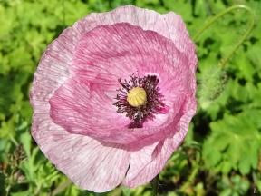 2020-06-02 LüchowSss Garten Klatschmohn (Papaver rhoeas) rosa-weiss geäderter Seidenmohn (1)