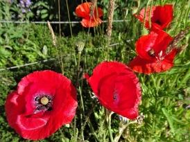 2020-06-02 LüchowSss Garten Klatschmohn (Papaver rhoeas) verschieden rot
