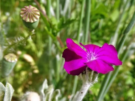 2020-06-02 LüchowSss Garten Vexier- bzw. Kronen-Lichtnelke (Lychnis coronaria)