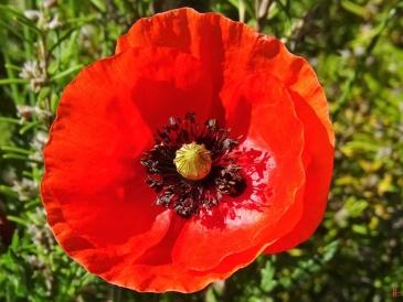 2020-06-02 LüchowSss Garten Mohn m. schüssselförmiger Blume, klatschmohnrot, mit seltsamer Narbe