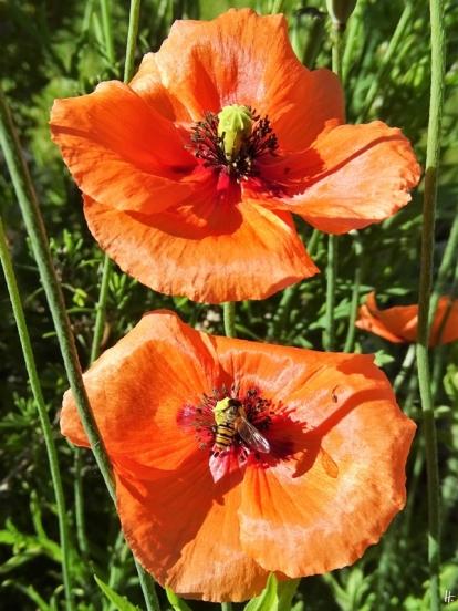 2020-06-02 LüchowSss Garten Saatmohn (Papaver dubium) + Hain-Schwebfliege (Episyrphus balteatus)