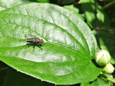 2020-06-02 LüchowSss Garten vermutl. eine Raupenfliegen-Art (Tachinidae)