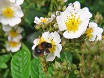 2020-06-03 LüchowSss Büschelrose (Rosa multiflora) + Baumhummel (Bombus hypnorum)