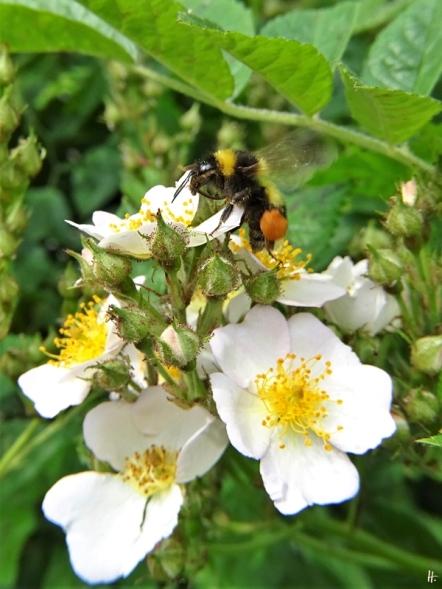 2020-06-03 LüchowSss Büschelrose (Rosa multiflora) + Gartenhummel (Bombus hortorum)