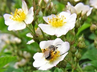 2020-06-03 LüchowSss Büschelrose (Rosa multiflora) + Wildbiene (2)
