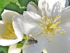 2020-06-03 LüchowSss Garten Fliege auf Bauernjasmin