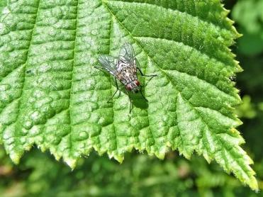 2020-06-03 LüchowSss Garten hellgraue Fliege auf Haselblatt