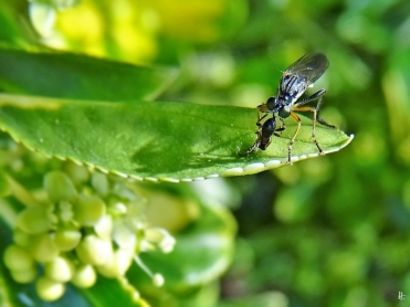 2020-06-03 LüchowSss Garten Gestreifte Habichtsfliege (Dioctria linearis) (1)