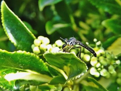 2020-06-03 LüchowSss Garten Gestreifte Habichtsfliege (Dioctria linearis) (2)