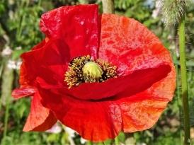 2020-06-03 LüchowSss Garten Klatschmohn-(Papaver rhoeas)-bzw. Seidenmohn-Variation rot + dunkelblond (1)