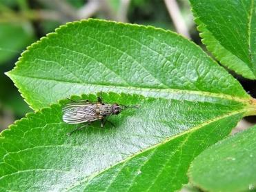 2020-06-03 LüchowSss Garten Kleine Raub-Hausfliege (Coenosia tigrina) (2)