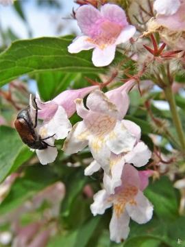 2020-06-03 LüchowSss Garten Perlmuttstrauch (Kolkwitzia amabilis) + Gartenlaubkäfer (Phyllopertha horticola)