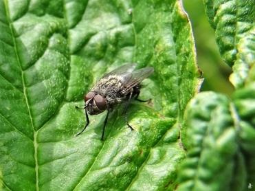 2020-06-03 LüchowSss Garten10h unbestimmte grauschwarze Fliege mit roten Augen