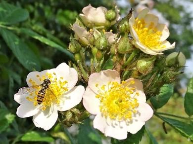 2020-06-04 LüchowSss Garten Büschelrose (Rosa multiflora) + Hain-Schwebfliege (Episyrphus balteatus)