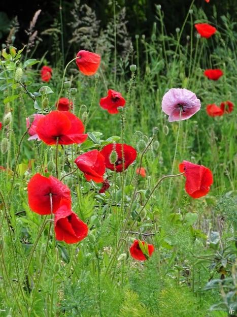 2020-06-04 LüchowSss Garten Klatschmohn-(Papaver rhoeas)-Variationen bzw. Seidenmohn in Rot + Rosa (1)