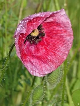 2020-06-04 LüchowSss Garten Klatschmohn-(Papaver rhoeas)-Variationen bzw. Seidenmohn rosa + rotgeädert (1)