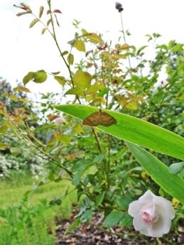 2020-06-04 LüchowSss Garten Ockergelber Blattspanner (Camptogramma bilineata) unter einem Schwertlilienblatt (1)