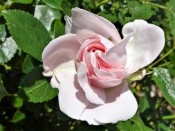 2020-06-04 LüchowSss Garten Rose 'Aspirin' (Tantau) (1)