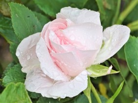 2020-06-04 LüchowSss Garten Rose 'Aspirin' (Tantau) (3)