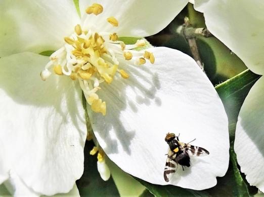 2020-06-05 LüchowSss Garten Bauernjasmin (Philiadelphus coronarius) + Kirschfruchtfliege (Rhagoletis cerasi)