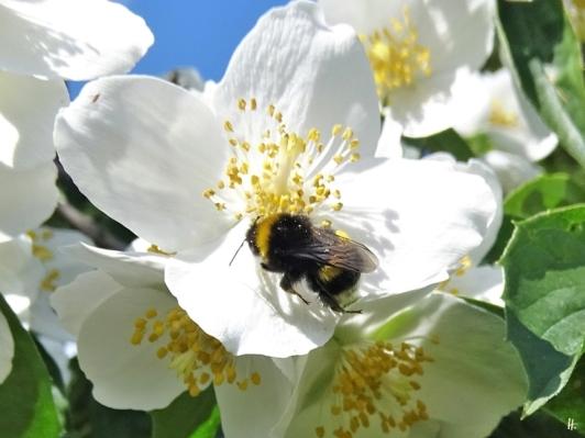 2020-06-05 LüchowSss Garten Bauernjasmin (Phuiladelphus coronarius) + Dunkle Erdhummel (Bombus terrestris)